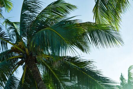 branches of coconut trees under the blue sky. Tropics with palm trees, travel concept. Banque d'images