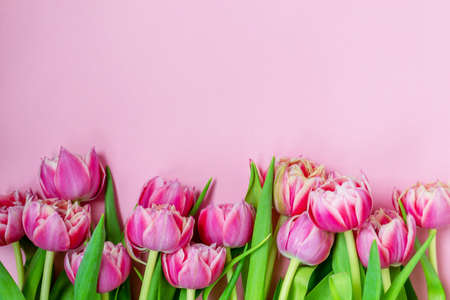 Pink tulips on a pink background. Flat lay, top view. Valentine background. Spring mood. Horizontal, copy space Banco de Imagens