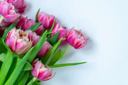 Pink tulips on a white background. Flat lay, top view. Valentine background. Spring mood. Horizontal, copy space