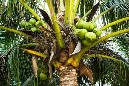 Large green coconuts on a palm tree in the tropics. Harvest coconuts. Bottom view.