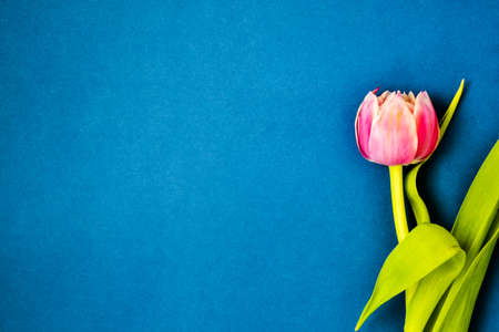 Pink tulip flower with green leaves isolated on blue background. Copy space. Spring holiday concept. Banco de Imagens
