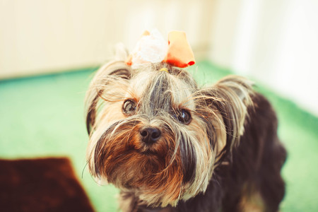 groomed: small dog with a bow