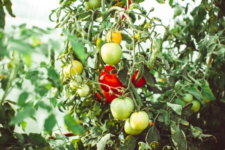 Tomatoes on the Bush to ripen in the greenhouse Stock Photo