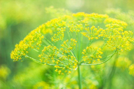 Beautiful and fresh young green yellow bush dill in summer on a blur bokeh background Reklamní fotografie