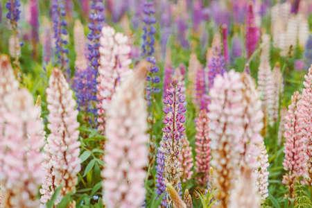 field of beautiful pink plants