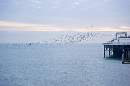 omnivores: The natural phenomenon which occurs annually in UK of starlings migrating in very tight formation