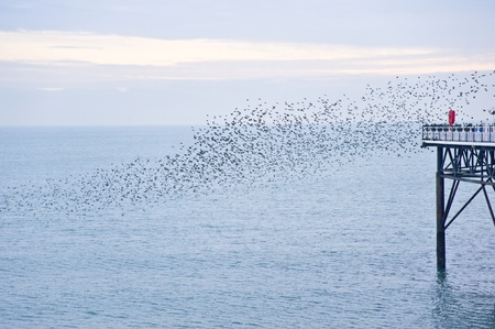 annually: The natural phenomenon which occurs annually in UK of starlings migrating in very tight formation