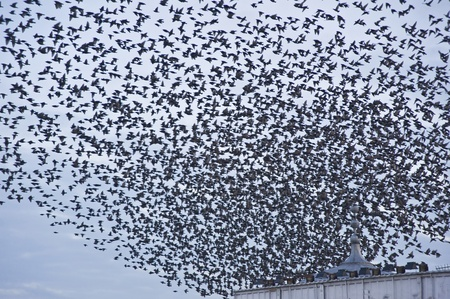 migrating animal: The natural phenomenon which occurs annually in UK of starlings migrating in very tight formation