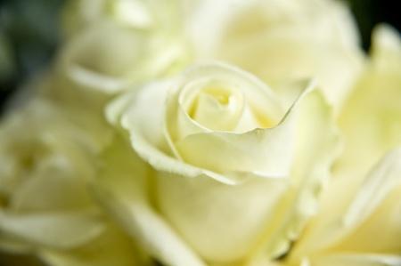 Beautiful close up of white wedding roses bouquet photo