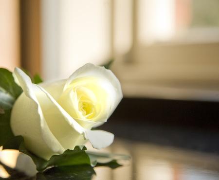 church flower: Beautiful close up of white rose wedding butonhole Stock Photo