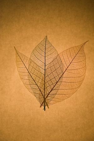 Macro close up of skeleton leaf on grunge paper background with added vignette