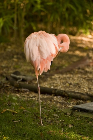 Beautiful portrait of pink flamingo in captivity allowing for excellent close up photo