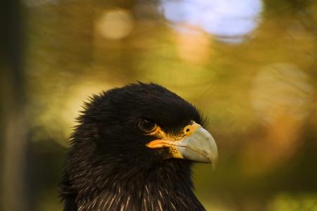 striated: Close up portrait of striated caracara bird Stock Photo
