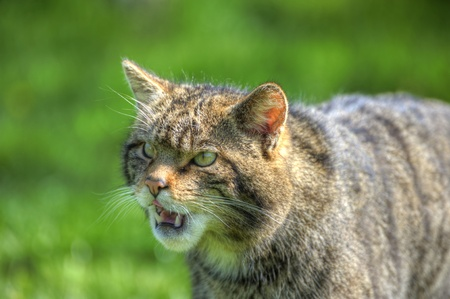 felix: Fantastic close up of Scottish wildcat capturing character and excellent detail