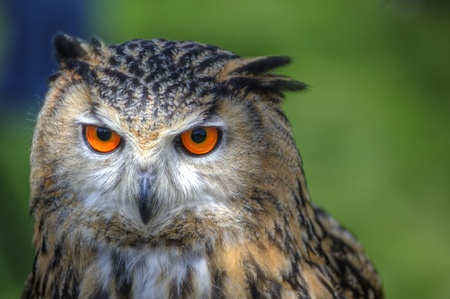 Superb close up of European Eagle Owl with bright orange eyes and excellent detail Stock Photo