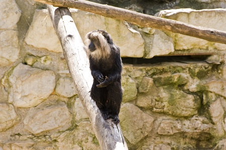 brigt: Lion tailed macaque monkey in captivity