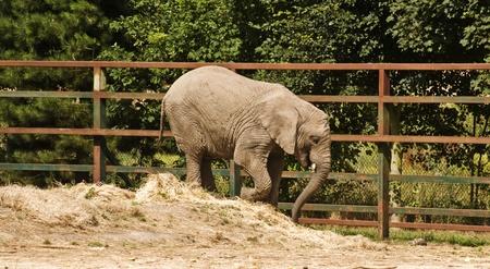 captivity: African elephants in captivity