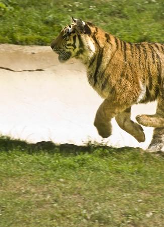 captivity: Amur Siberian Tiger in captivity