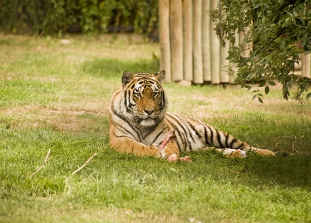 the amur: Amur Siberian Tiger in captivity