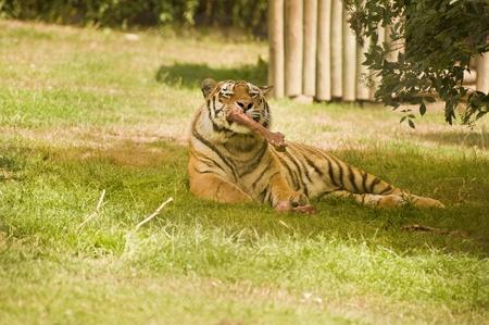 feirce: Amur Siberian Tiger in captivity