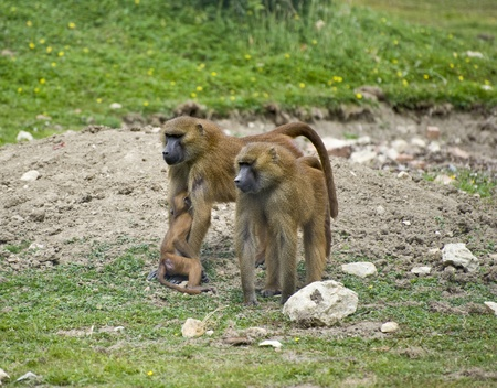 troop: Family troop of Guinea Baboons Stock Photo