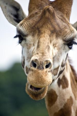 Comical close up of giraffe Stock Photo - 8530398