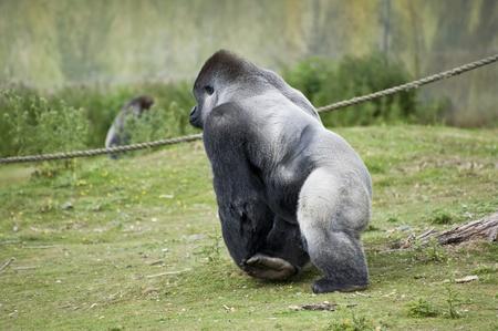 captivity: Western lowland gorilla in captivity