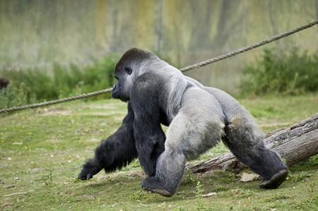 western lowland gorilla: Gorilla Gorilla gorilla in cattivit� Archivio Fotografico