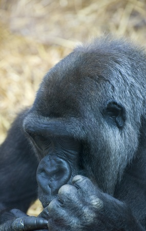Close up of Western lowland gorilla Stock Photo - 8530371