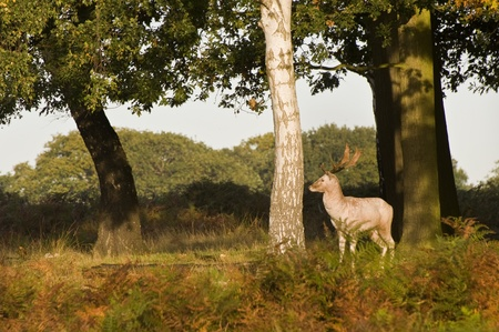 rut: Magnificent white stag during rut season