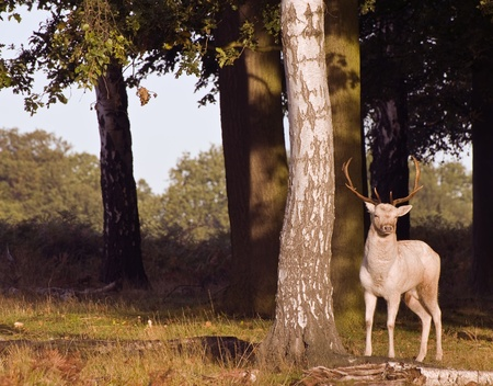 Magnificent white stag prowling during rut season photo