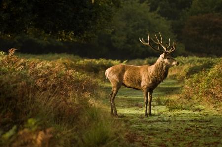 bellow: Magn�fico ciervo stag corriendo durante la temporada de rut