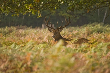 rut: Magnificent red deer stag prowling during rut season