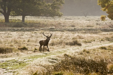 Magnificent red deer stag prowling during rut season photo