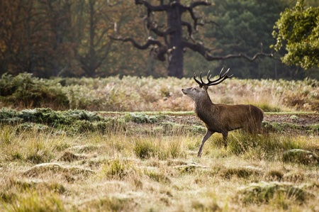 rutting: Magnificent red deer stag prowling during rut season