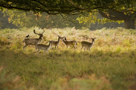 Red deer harem roaming in forest during rut season photo