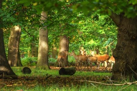 rut: Red deer harem during rut season Stock Photo