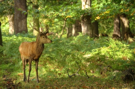 Magnificent red deer stag in sunbathed forest photo
