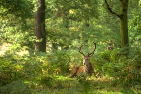 Magnificent red deer stag in sunbathed forest Stock Photo - 8530401
