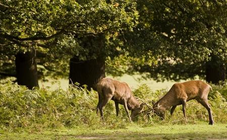 Pair of Stag Red Deers fighting during rut season photo
