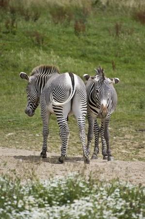 grants: Pair of African Grants Zebras