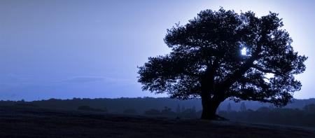 english oak: Silhouette of ancient English oak tree at sunrise in Autumn Fall