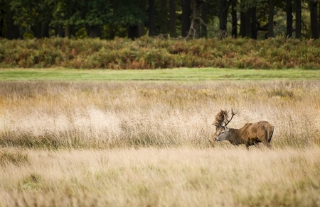 Red deer during rutting season in Autumn Fall, scene in fields and forests photo