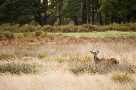 Red deer during rutting season in Autumn Fall, scene in fields and forests Stock Photo - 8530526