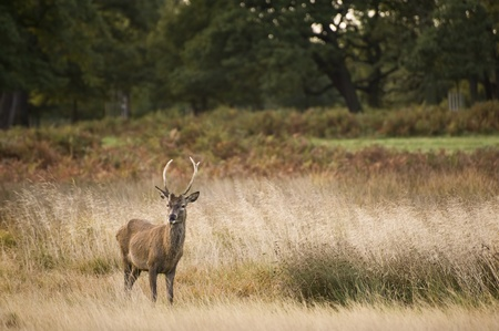 rutting: Red deer during rutting season in Autumn Fall, scene in fields and forests