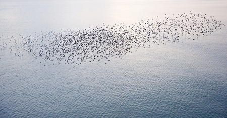 migratory birds: The natural phenomenon which occurs annually in UK of starlings migrating in very tight formation