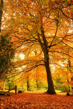 lone tree: Beautiful autumn fall forest scene with vibrant colors and excellent detail