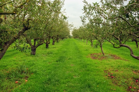 Apple orchard scene with vibrant colors and lush green surroundings photo