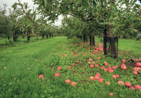 Apple orchard scene with vibrant colors and lush green surroundings Stock Photo - 8560853