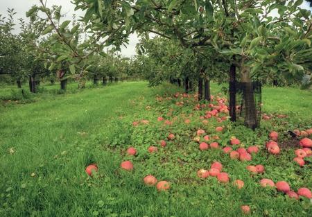 Apple Orchard Szene mit lebendigen Farben und �ppig-gr�ner Umgebung